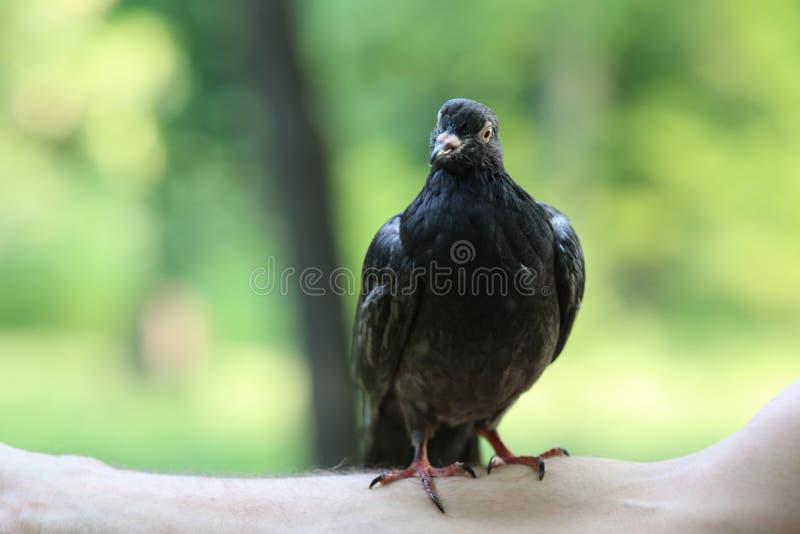 Pigeon sur la main de l'homme photos stock