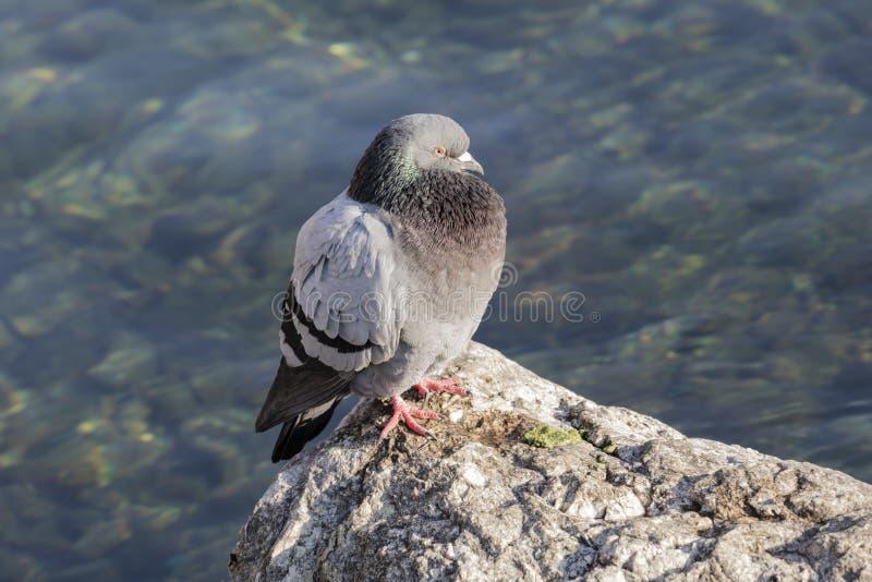 Pigeon sur le lac images stock