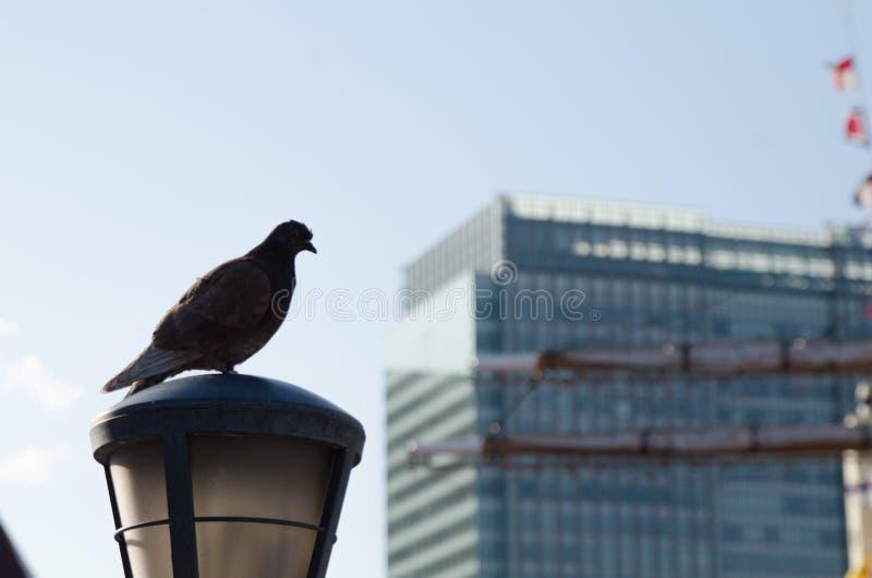 Pigeon sur le repos au district des affaires de Tokyo, Japon La population au Japon est un milliard de personnes Dans l'heure d'é photo stock