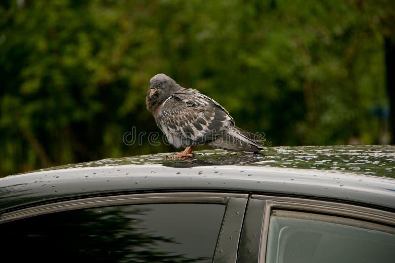 Pigeon sur un toit de voiture photographie stock