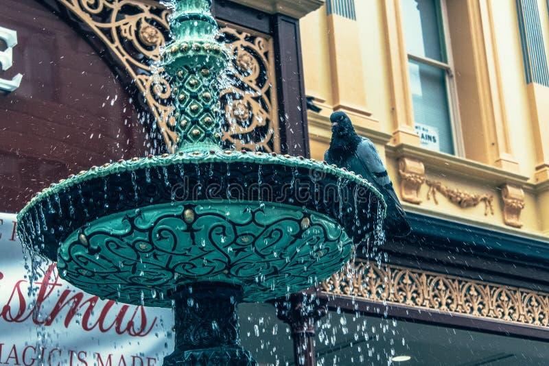 Pigeon sur une fontaine image libre de droits