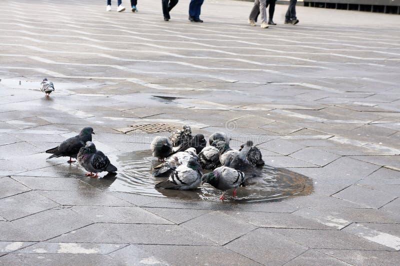 Pigeon royalty free stock photo