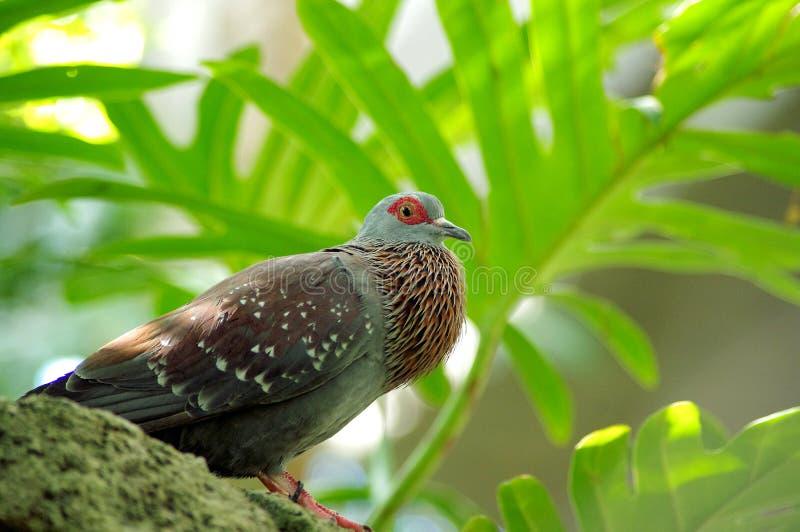 Pigeon tacheté Columba Guinea avec soufflée la gorge photo stock