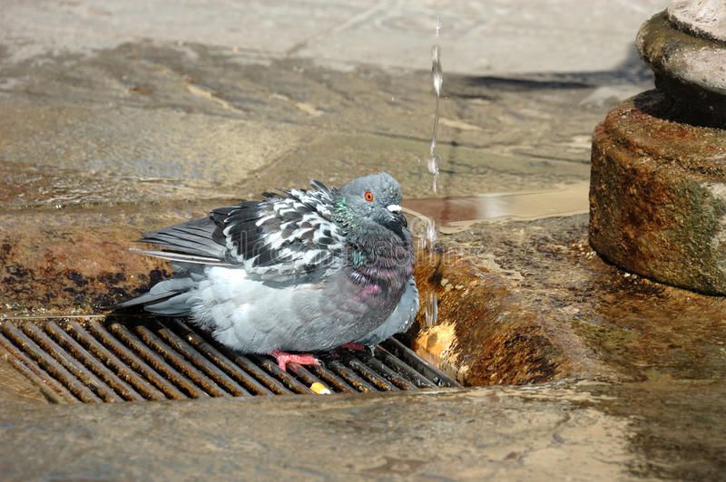 Pigeon taking a shower royalty free stock images