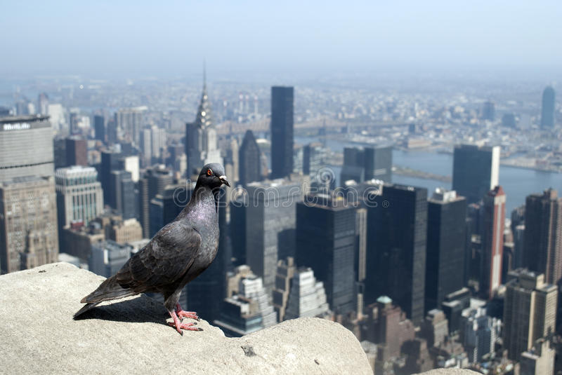 Pigeon on top of the Empire stock images