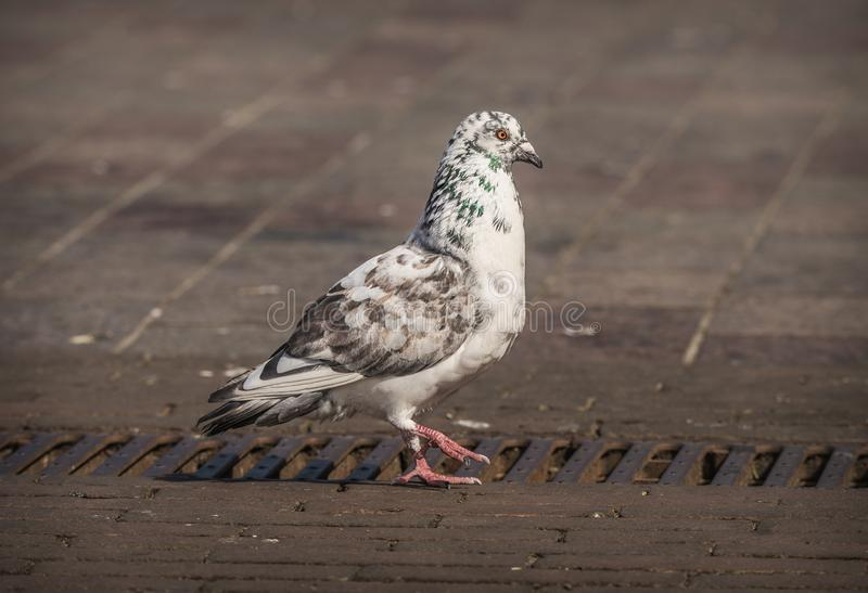 Pigeon with unique color pattern and markings standing on concrete in the city royalty free stock photo