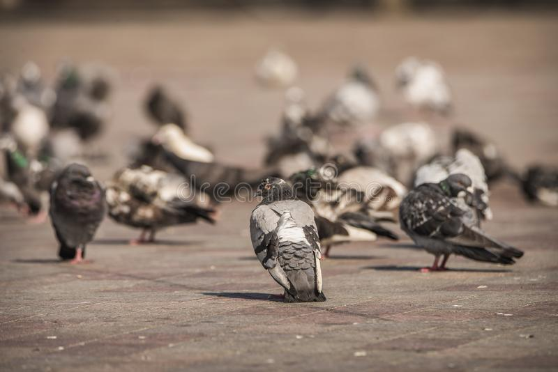 Pigeon with unique color pattern and markings standing in a flock in a market square in the city royalty free stock photos