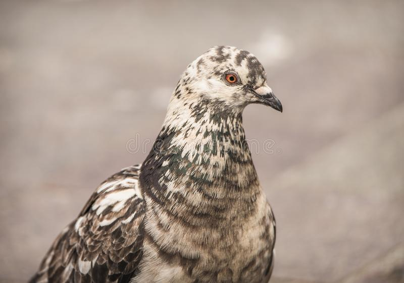 Pigeon with unique color pattern and markings standing in a market square in the city royalty free stock image