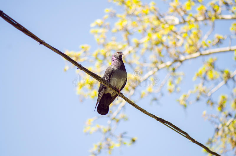 Pigeon urbain photographie stock libre de droits