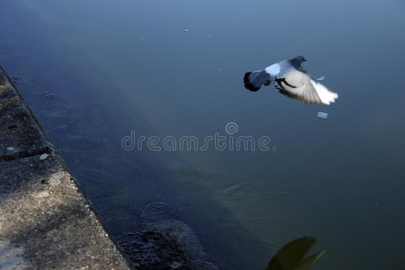 Pigeon volant fonctionnant loin image stock