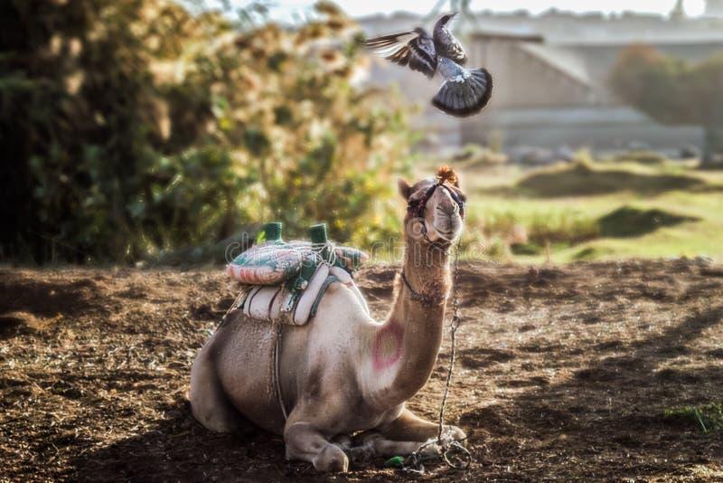 Pigeon volant jouant avec placer le chameau pendant le début de la matinée images stock