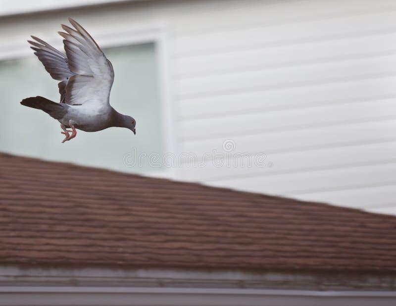 Pigeon volant vers le bas outre du dessus de toit image libre de droits