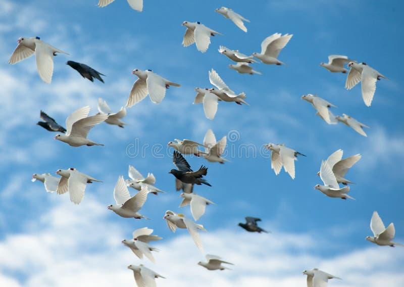 Pigeon voyageur dans le ciel photos libres de droits