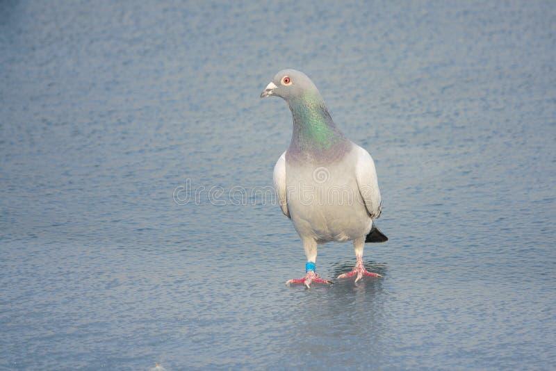 Pigeon voyageur photo stock