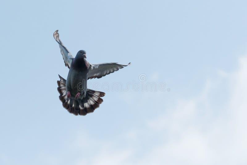 Pigeon voyageur volant contre le ciel clair de matin image libre de droits