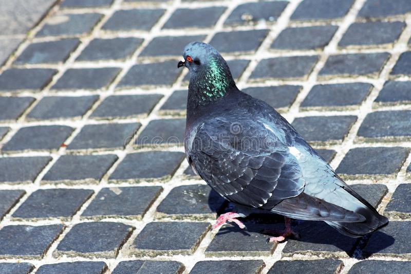 Pigeon at the walk royalty free stock photography