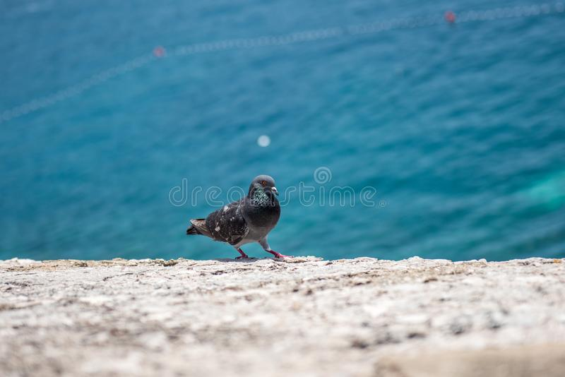 pigeon walking on cliff near the sea royalty free stock photos