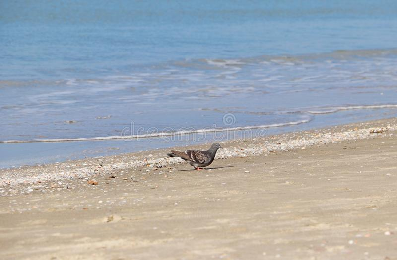A pigeon walks on the beach close to the water stock images