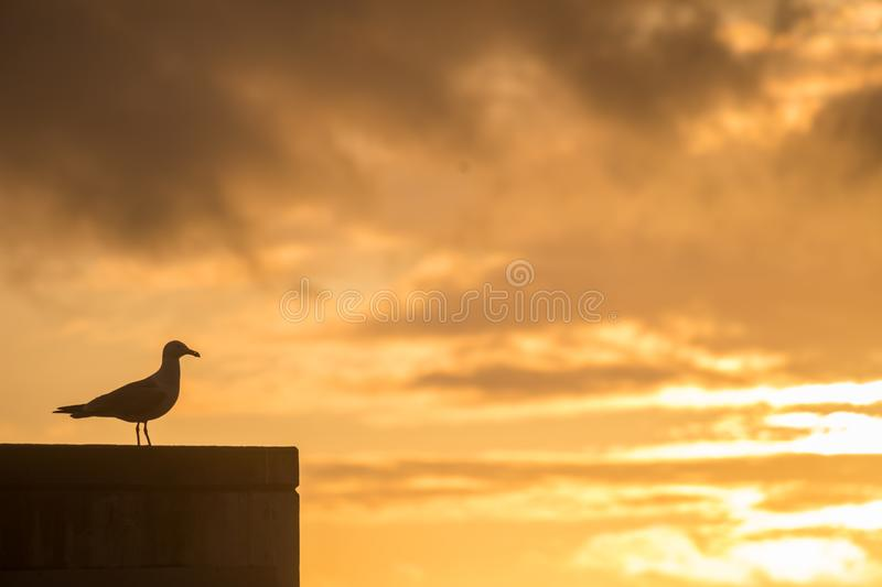 Pigeon Watching the Sunset in Porto. A Pigeon Watching the Sunset in Porto near the Douro River during Spring stock photography