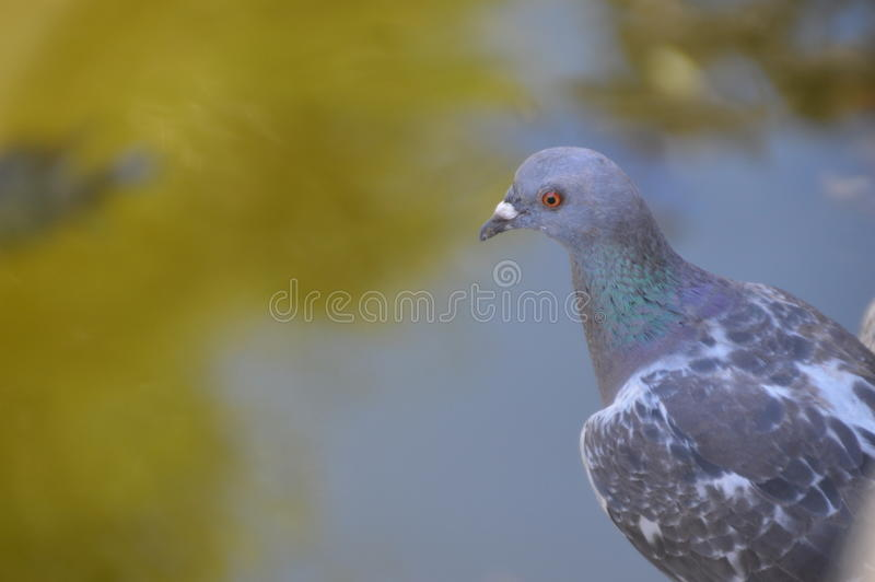 Pigeon Watching At The Water. Nice Bokeh. The favorite bird of The Netherlands stock photography