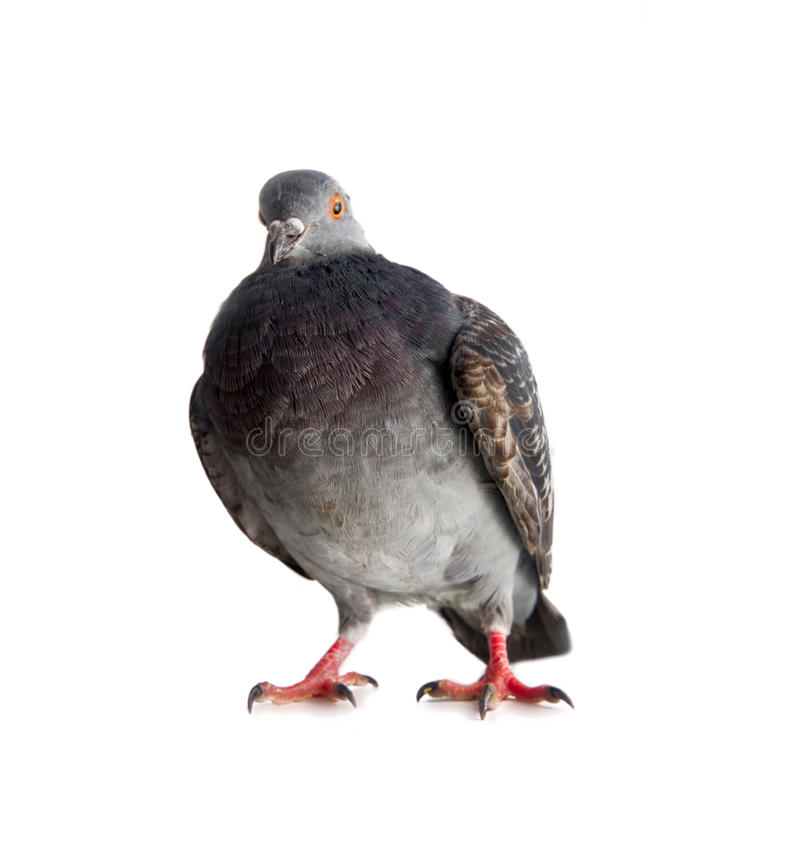 Download Pigeon On A White Background Stock Photo - Image of blue, natural: 37007588