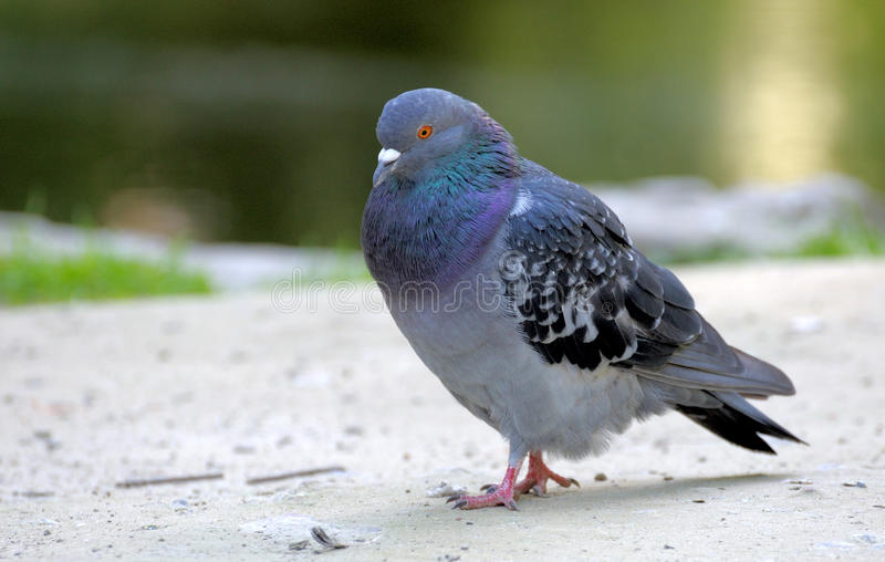 Pigeon. Wild gray pigeon close up royalty free stock photography