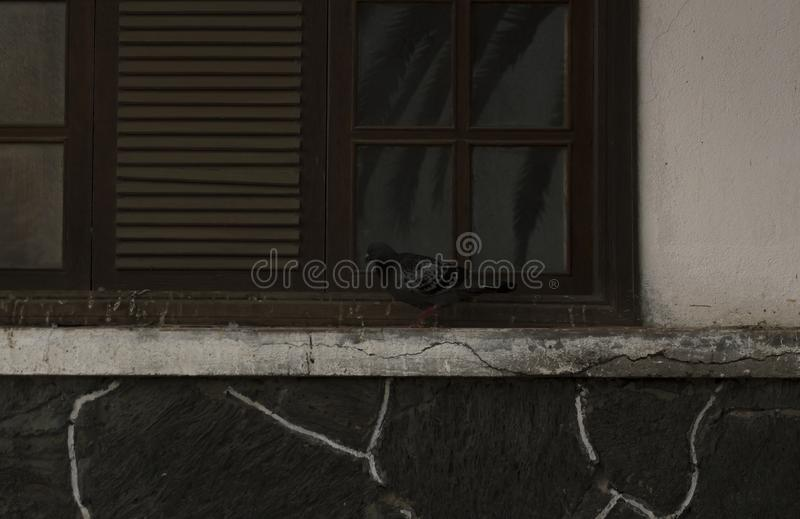Pigeon in a window with lines. A photo of a black pigeon walking in a symmetrical window with lines stock photos