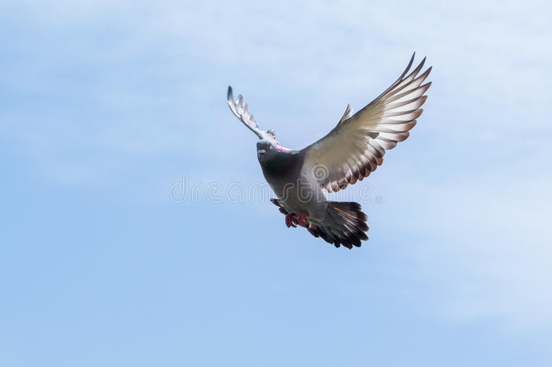 Pigeon wing flying against blue sky royalty free stock images