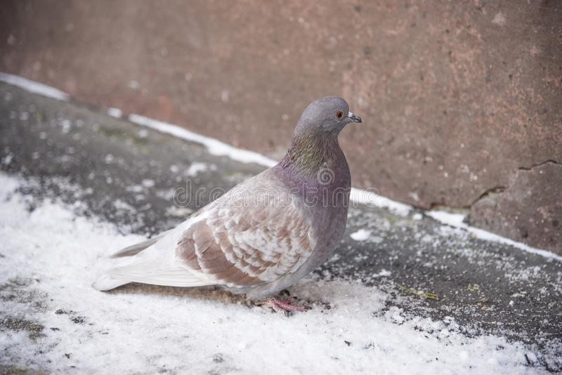 Pigeon in winter royalty free stock photography