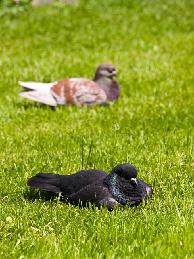 Download Pigeons stock photo. Image of relax, nature, wing, park - 14072712