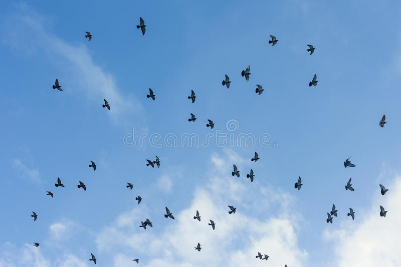 Download Pigeons stock image. Image of migrate, freedom, life - 28785463