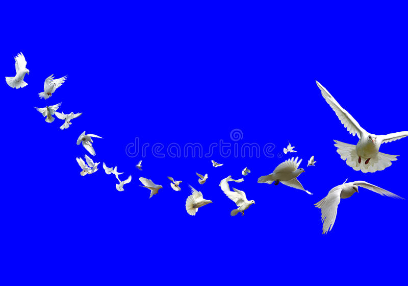 Download Pigeons stock photo. Image of doves, bird, peace, freedom - 9775278