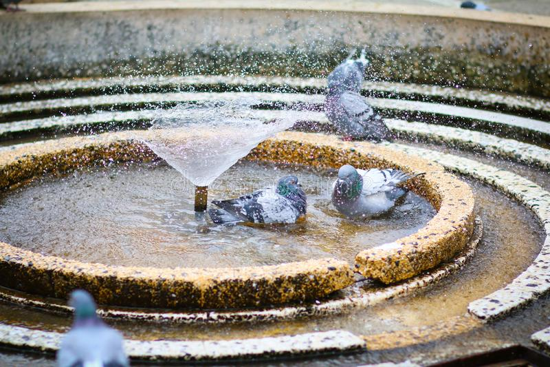 Pigeons bathing in circular water fountain in Victory, Victoria, Victoriei Square. In Timisoara, Romania royalty free stock images