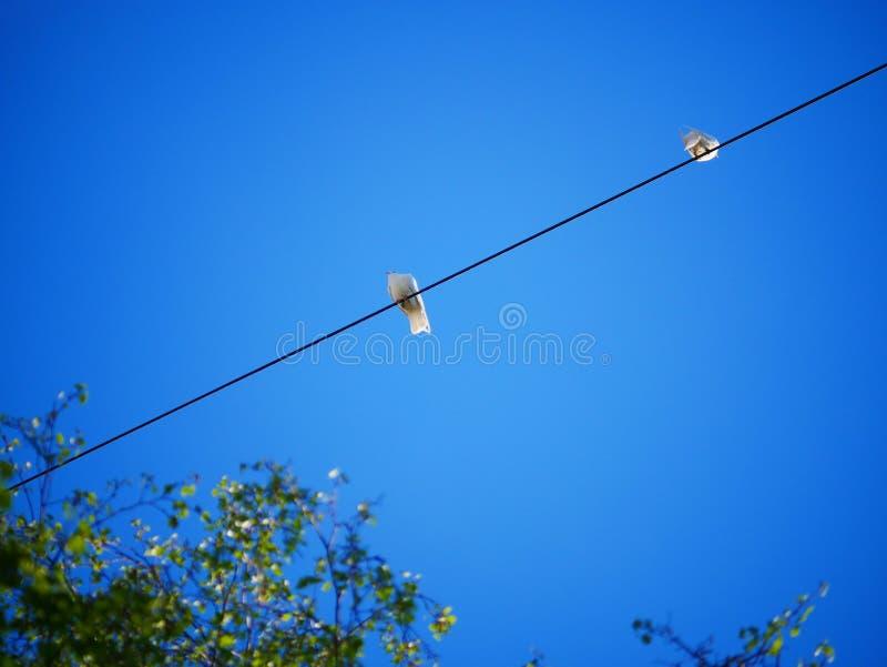Pigeons blancs dans la ville Des pigeons sur des fils contre le ciel bleu image stock
