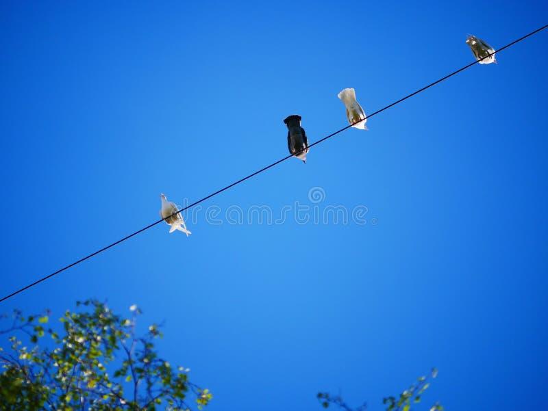 Pigeons blancs dans la ville Des pigeons sur des fils contre le ciel bleu images libres de droits