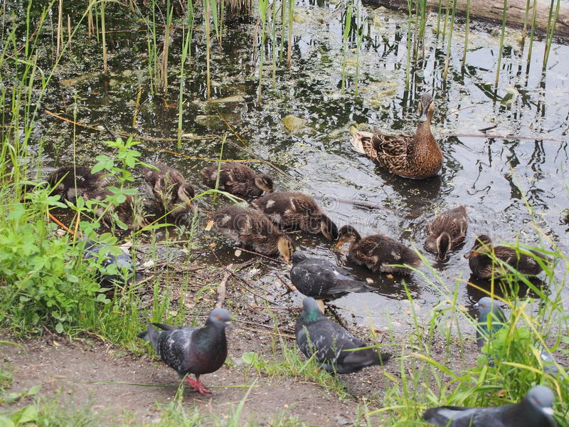 Pigeons and a brood of wild ducks peck the bread. Duck watching stock photos