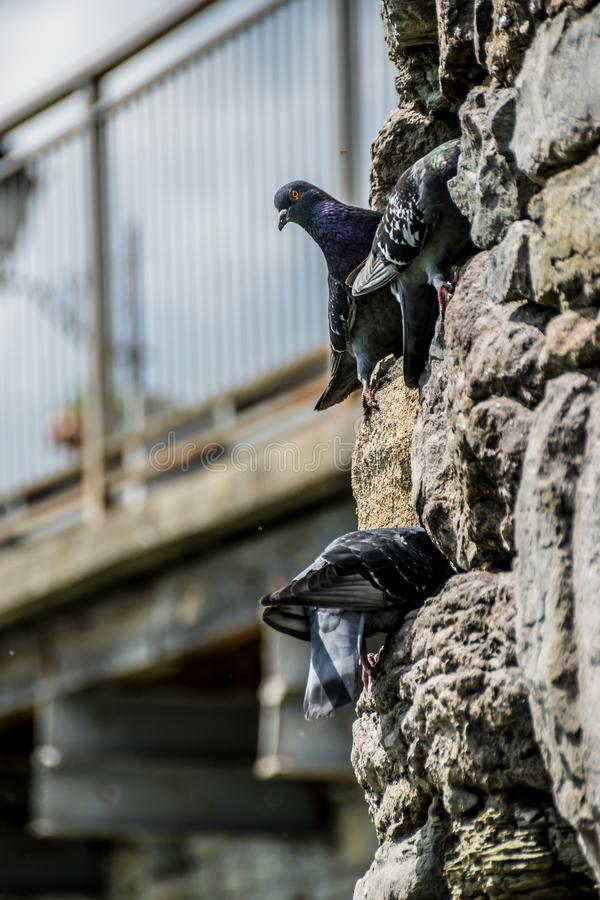 Pigeons on the castle walls royalty free stock photo