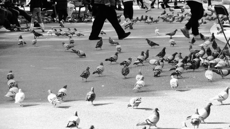 Pigeons in city. A black and white image of pigeons on the streets of a city with people walking among them royalty free stock photography