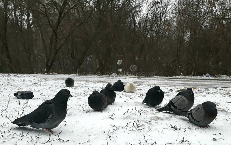 Pigeons congelés dans la neige photographie stock