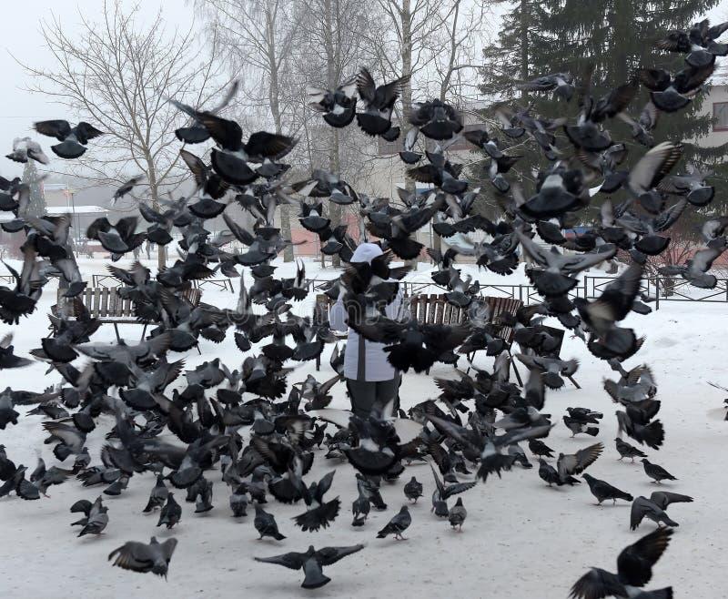 Pigeons d'affouragement hivernal de femme photographie stock