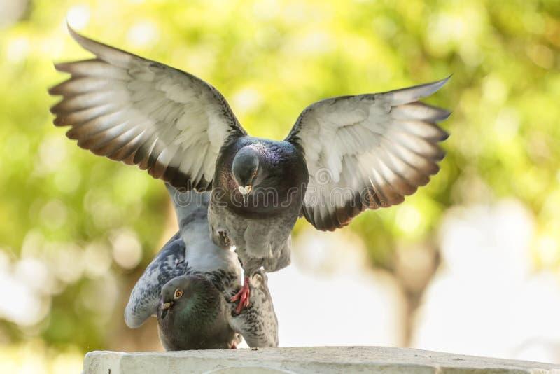Pigeons dans l'amour image stock