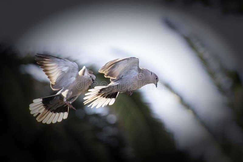Pigeons dans l'amour images libres de droits