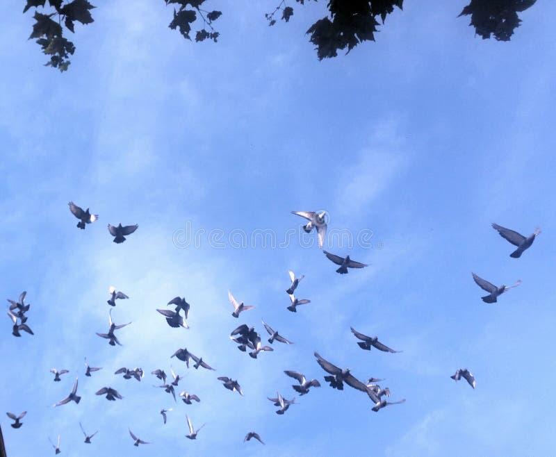 Pigeons dans le ciel photographie stock libre de droits