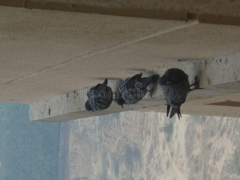 Pigeons dans le groupe photo stock
