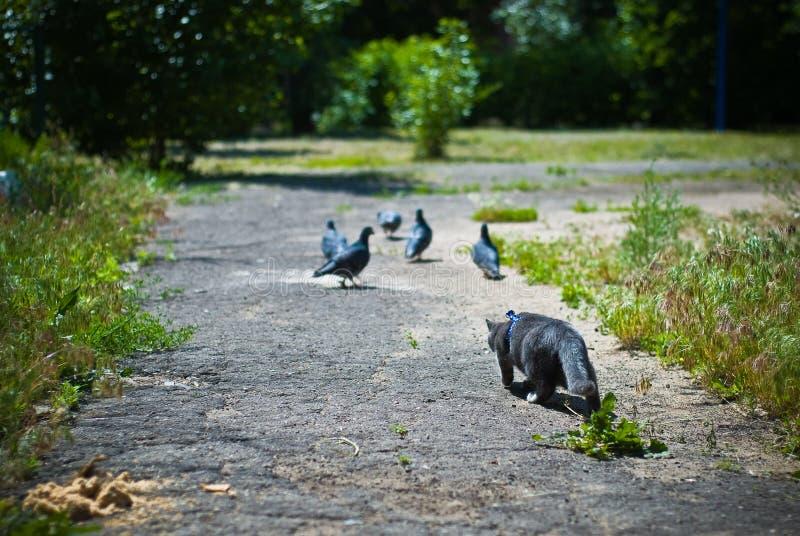 Pigeons de chasse de chat image stock