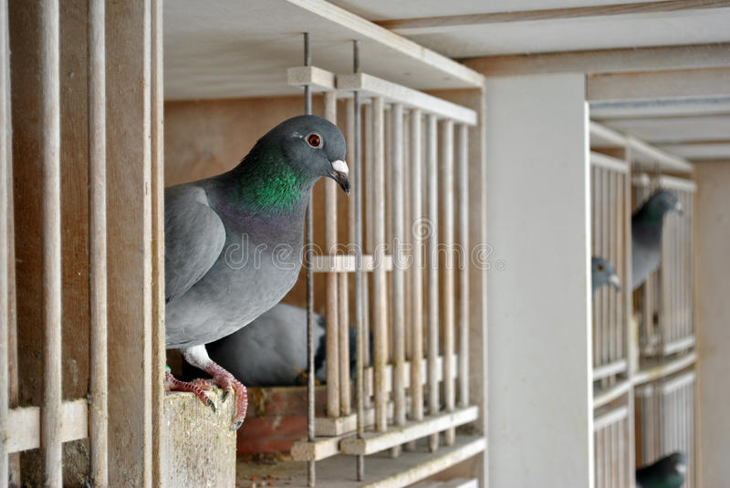 Pigeons In A Dovecote Royalty Free Stock Image