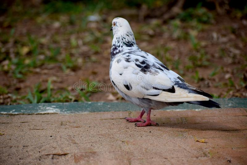 Pigeons and doves white feature fleshy ceres royalty free stock images