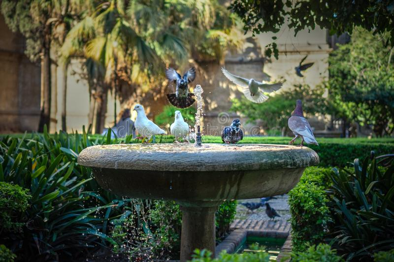 Pigeons drinking from fountain water in Malaga in the cathedral garden. Pigeons drinking from fountain water in Malaga in the calming cathedral garden stock photo