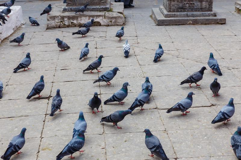 Pigeons on the Durbar square stock image
