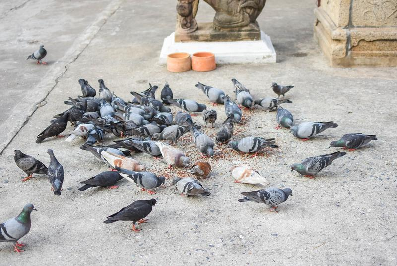 Pigeons eating food in groups royalty free stock photos
